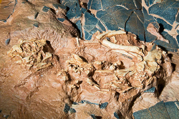 Photograph - Baby Dinosaur Fossil In Nest by Millard H. Sharp