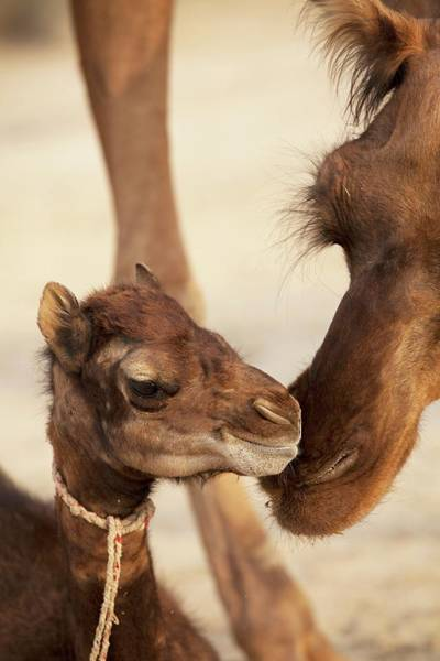 Dromedary Wall Art - Photograph - Baby Dromedary Camel Mers Reservoir Host by Paul D Stewart