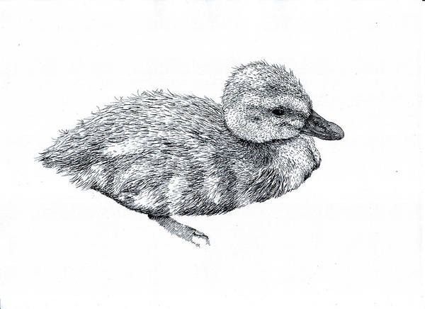 Wall Art - Drawing - Baby Duck by Karl Addison