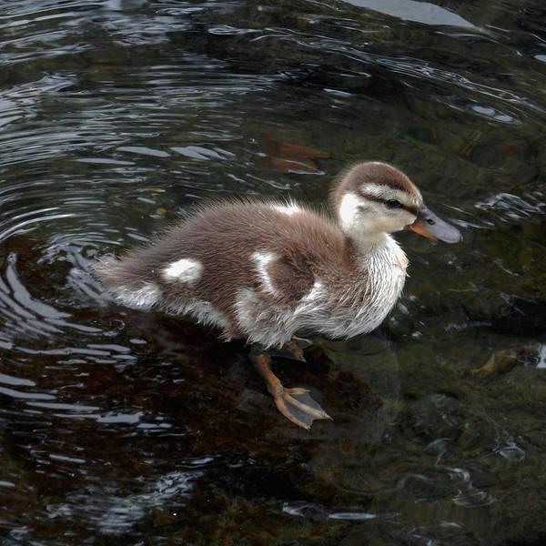 Photograph - Baby Duck  by Pamela Walton