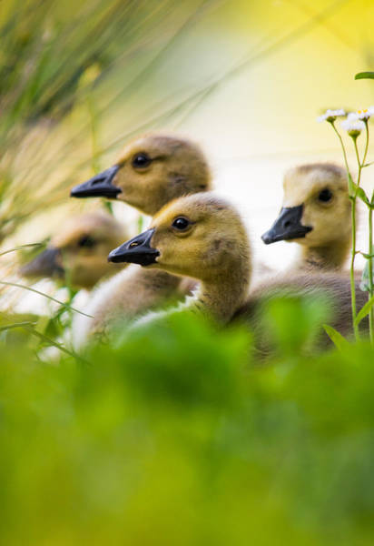 Fuzzy Photograph - Baby Ducklings by Parker Cunningham