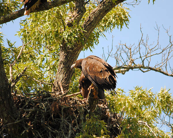 Photograph - Baby Eagle Perched On Nest by Jai Johnson