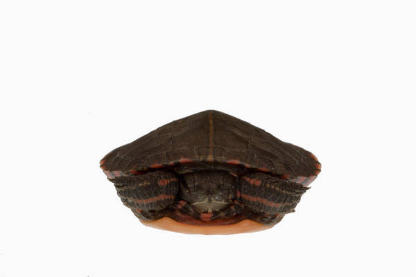 Painted Turtle Photograph - Baby Eastern Painted Turtle by Science Stock Photography/science Photo Library