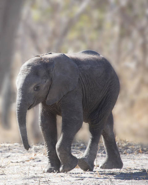 Photograph - Baby Elephant by Gigi Ebert