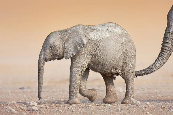 Wall Art - Photograph - Baby Elephant  by Johan Swanepoel