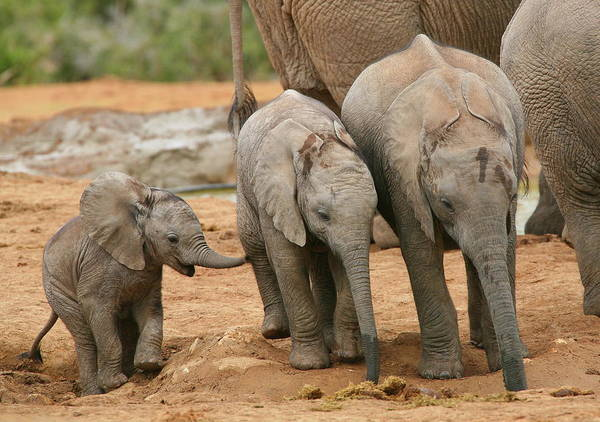 Wall Art - Photograph - Baby Elephant Trio by Bruce J Robinson