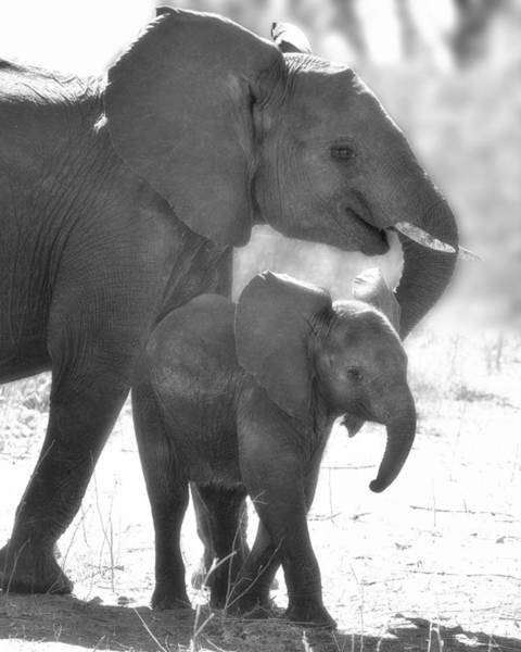 Photograph - Baby Elephant With Mom by Gigi Ebert