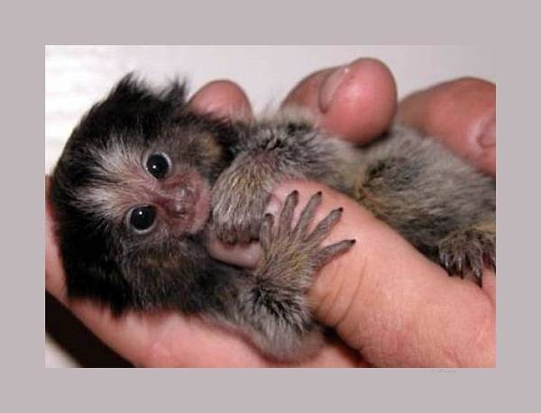 Wall Art - Photograph - Baby Finger Monkey Light Background by L Brown