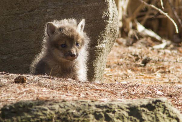 Wall Art - Photograph - Baby Fox by Mircea Costina Photography
