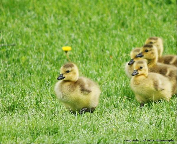 Photograph - Baby Geese by Al Fritz