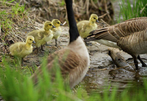 Conn Wall Art - Photograph - Baby Geese Follow Parents Into Water by Carl D. Walsh