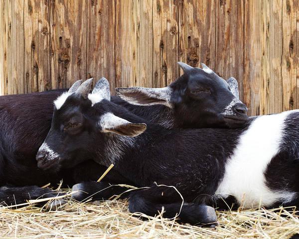 Wall Art - Photograph - Baby Goats Sleeping by Stephanie McDowell