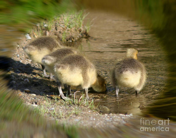 Photograph - Baby Goose Butts by Smilin Eyes  Treasures