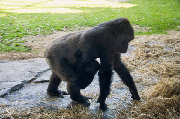 Photograph - Baby Gorilla On The Move With Mom by Chris Flees