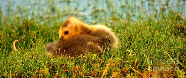 Photograph - Baby Gosling Solitude by John F Tsumas