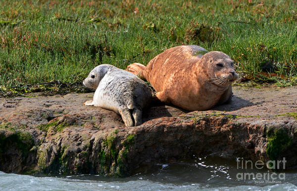 Photograph - Baby Harbor Seal With Mother by Susan Wiedmann