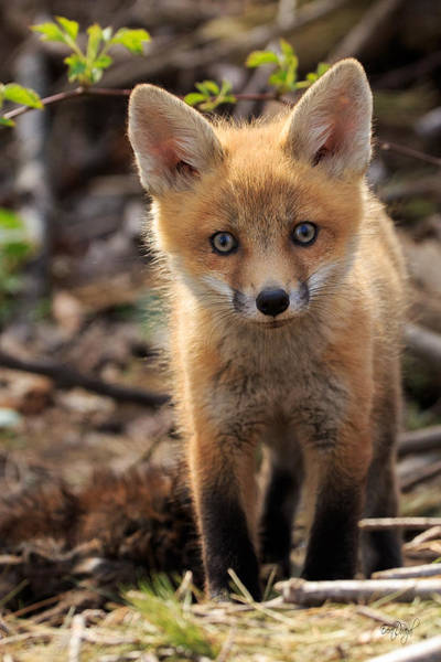 Kit Fox Photograph - Baby In The Wild by Everet Regal