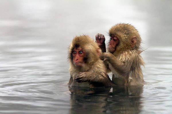 Photograph - Baby Japanese Macaques Snow Monkeys by Oscar Tarneberg