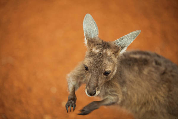 Petting Zoo Photograph - Baby Kangaroo Joey, Perth Zoo, Western by Christopher Kimmel
