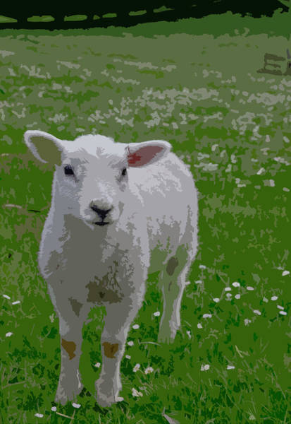 Ewe Photograph - Baby Lamb In A Green Meadow Filled With White Flowers by Bridget Calip