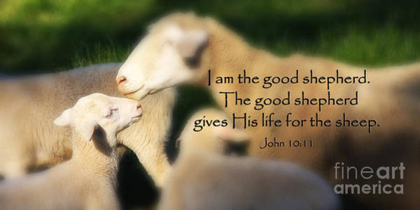 Photograph - Baby Lamb With Scripture by Jill Lang