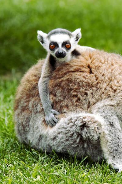 Photograph - Baby Lemur by Goyo Ambrosio