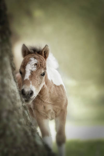 Wall Art - Photograph - Baby Miniature Horse Paint Colt by Maresa Pryor