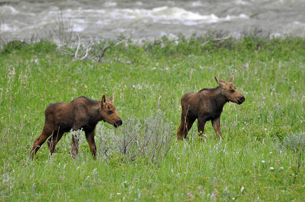 Photograph - Baby Moose On The Banks Of The Gallatin by Bruce Gourley