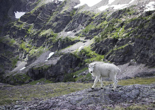 Baby Mountain Goat At Comeau Pass Art Print