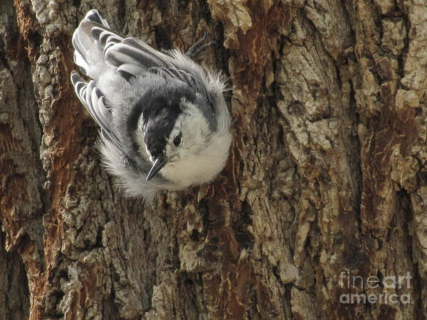 White-breasted Nuthatch Photograph - Baby Nuthatch by Marilyn Smith