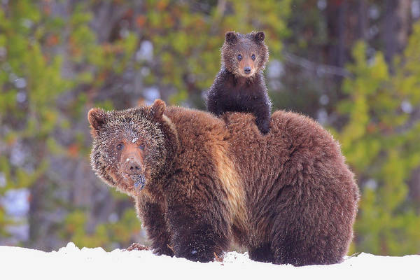 Yellowstone Photograph - Baby On Board by Steve Hinch