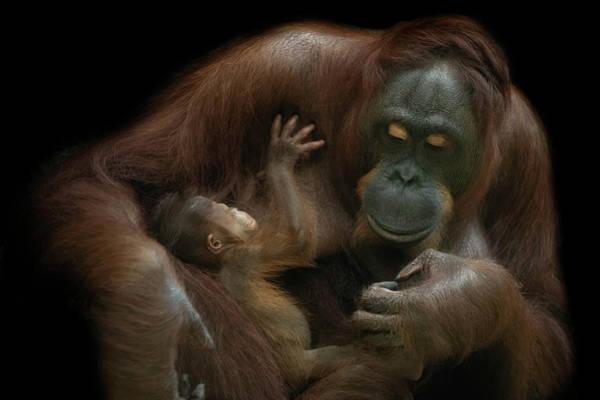 Baby Photograph - Baby Orangutan & Mother by David Williams