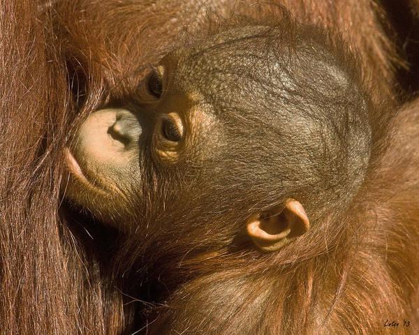 Photograph - Baby Orangutan 2 by Larry Linton