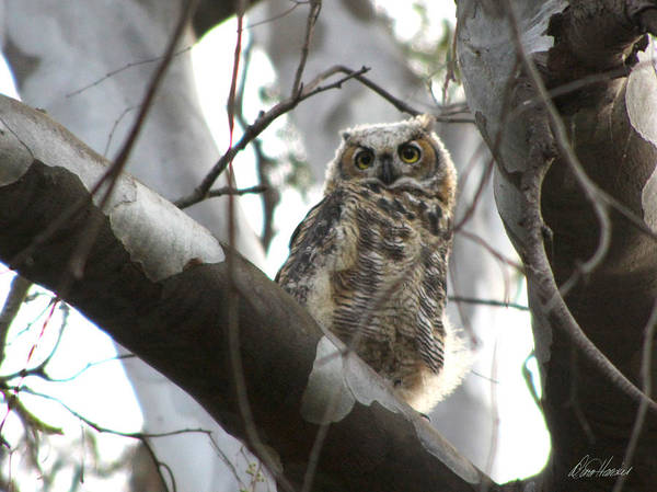 Photograph - Baby Owl In Tree by Diana Haronis