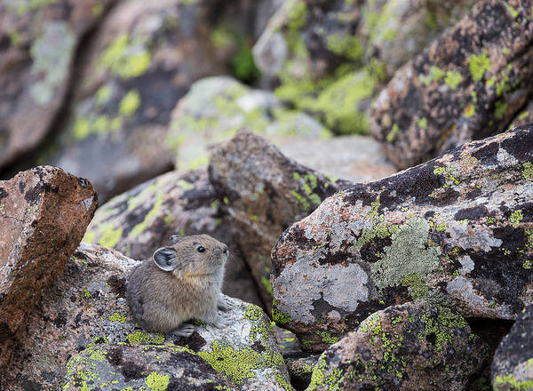 Photograph - Baby Pika by Michael Chatt