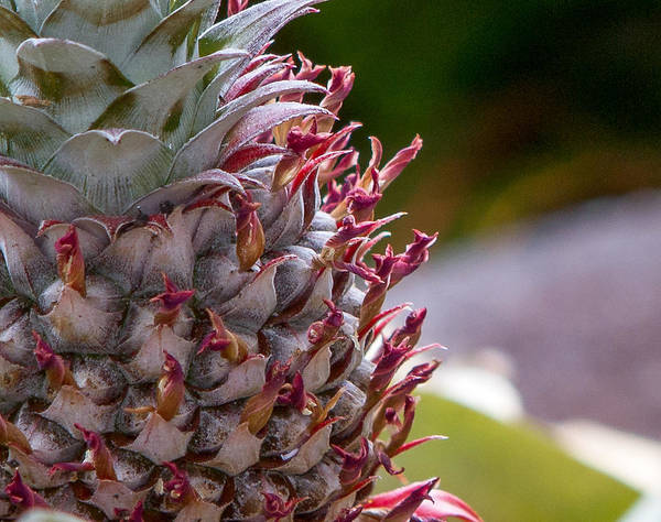 Photograph - Baby White Pineapple by Denise Bird