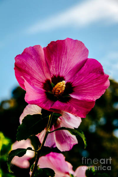 Mallow Family Photograph - Baby Pink Hollyhock by Robert Bales