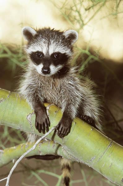 Wall Art - Photograph - Baby Raccoon In Tree by Craig K. Lorenz