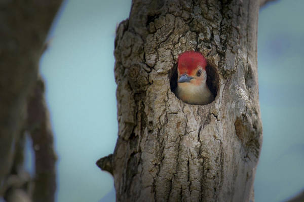 Photograph - Baby Red Bellied Woodpecker by Jack R Perry