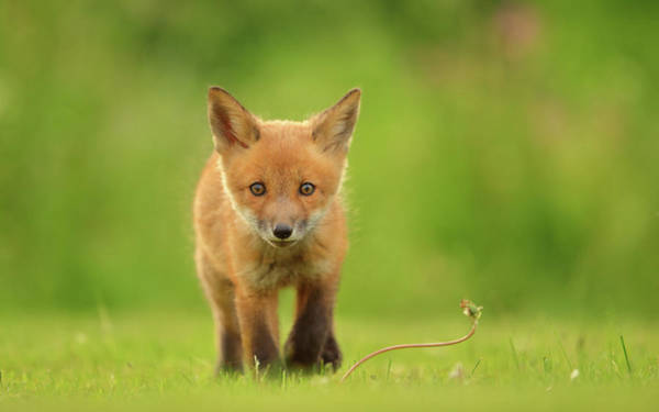 Baby Photograph - Baby Red Fox by Assaf Gavra