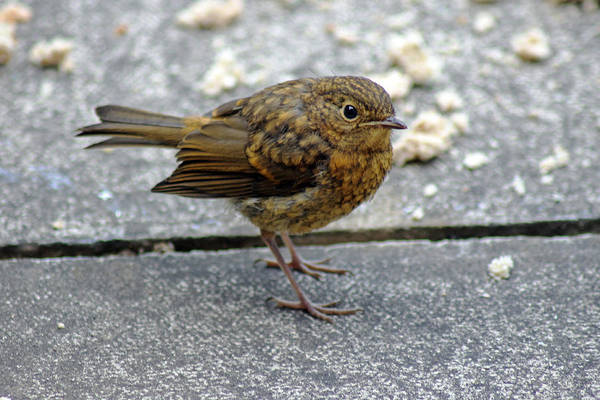 Photograph - Baby Robin Feeding by Tony Murtagh