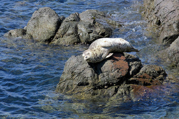 Urban Wildlife Photograph - Baby Sea Lion On Rock At San Juan Island by Evgeny Vasenev