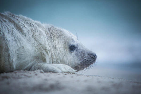 Wall Art - Photograph - Baby Seal by Lucie Hulejova-pesakova