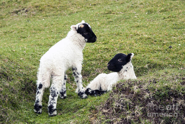 Photograph - Baby Sheep by Juli Scalzi
