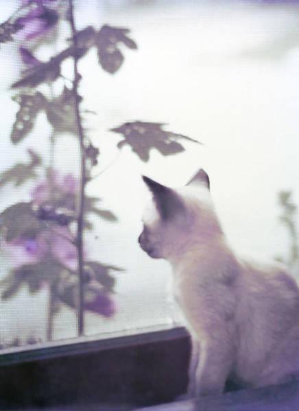 Photograph - Baby Siamese Kitten by Lynn Hansen