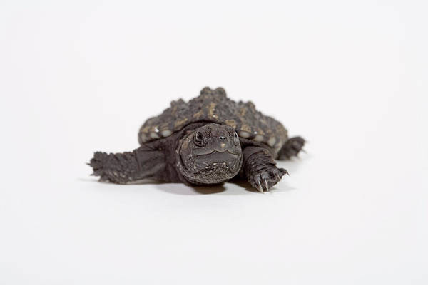 Snapping Wall Art - Photograph - Baby Snapping Turtle by Science Stock Photography/science Photo Library