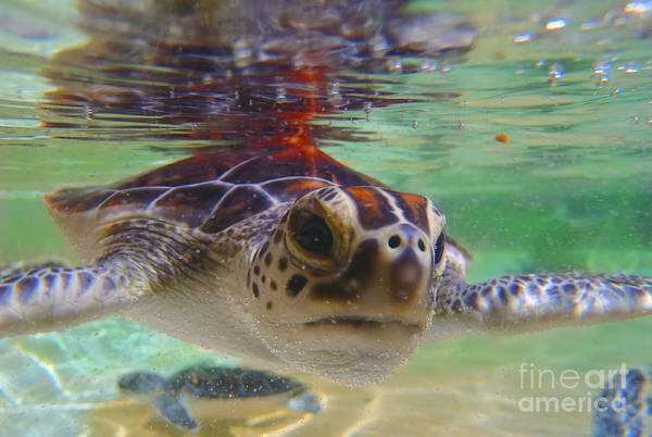 Hawksbill Turtle Photograph - Baby Turtle by Carey Chen