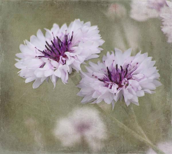 Bachelor Buttons - Flowers Art Print