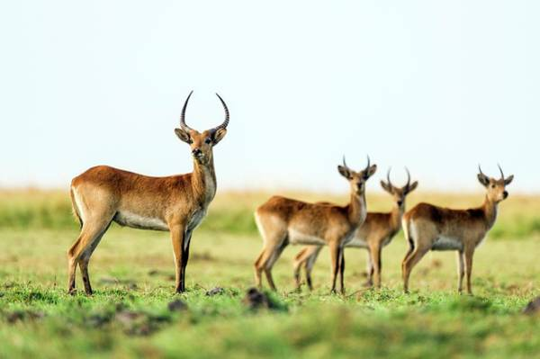 Chobe National Park Wall Art - Photograph - Bachelor Herd Of Red Lechwe by Peter Chadwick