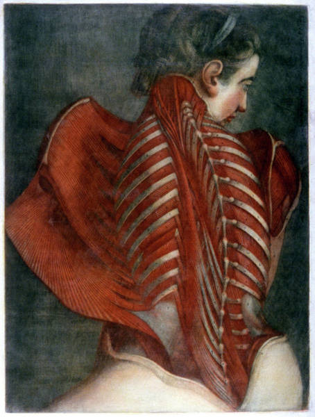 Back Bone Wall Art - Photograph - Back Anatomy by Cci Archives/science Photo Library
